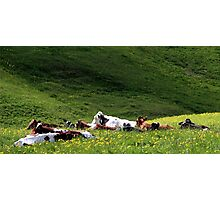 28.5.2015: Cows on Pasture Photographic Print