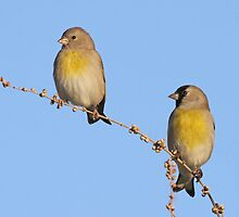 Lawrence's Goldfinches by tomryan