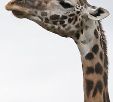 how giraffes look when they're not speaking to you by jude walton