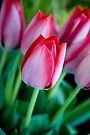 Red Tulips by Renee Hubbard Fine Art Photography
