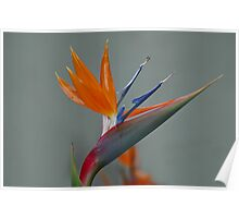 """"""" Don't touch the Bird of Paradise """". Poster"""