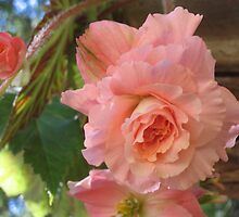 Light Pink Begonia by Pat Yager