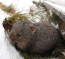 Winter Wombat, Overland Trail, Cradle Mountain National Park, Tasmania, Australia by Michael Boniwell
