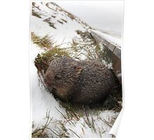 Winter Wombat, Overland Trail, Cradle Mountain National Park, Tasmania, Australia Poster