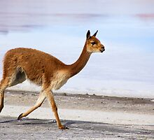 vicuna trot by Bob Wickham