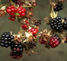 Blackberries in my dad's garden by steppeland