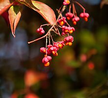 Berries of the Spindle tree by Dave  Knowles