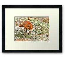 Fox in the frost Framed Print
