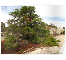 The Mysterious Jack Pine Poster