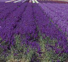 Lavender Love by kimron