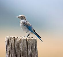 Bluebird on Mormon Row by Jennifer Nestler
