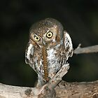 Elf Owl with prey by tonybat