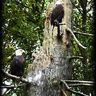 Bald Eagles by Mari  Wirta