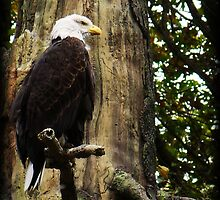 Bald Eagle by Mari  Wirta