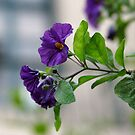 Solanum Rantonnetii With Garden Background by taiche