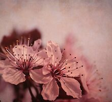 cherry tree flowers  by kittenmomo