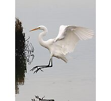 Great White Egret landing on water Photographic Print