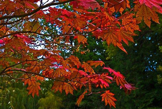 Acer Leaves by Trevor Kersley