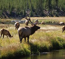 Bull Elk - Yellowstone by Robbie Robinson