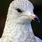 A Sea Gull~  a study... by Larry Llewellyn