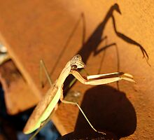 Praying mantis by Carol Knepp