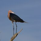 Reddish Egret by kathy s gillentine