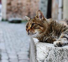 Topkapi Cat by Chris McIlreavy