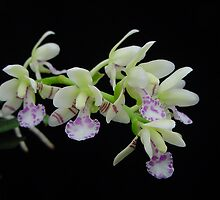 Aer japonica by Mostlyorchids