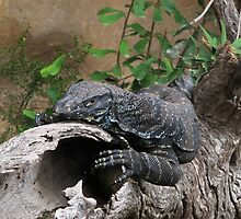 Lace monitor by sath