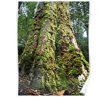 Tree in Tara Bulga National Park, East Gippsland Victoria Poster