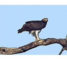 Martial Eagle Photographic Print