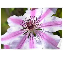 Pink Striped Nelly Moser Clematis Poster