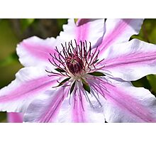 Pink Striped Nelly Moser Clematis Photographic Print