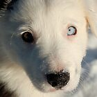 Baby Willy (Border Collie) in Snow by LOJOHA