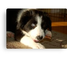 Baby Gracie (Border Collie) Canvas Print