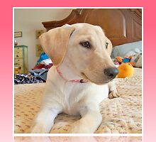 Cessna, Yellow Labrador, 14 weeks by Jen Peters