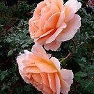 Sonya Roses              by Rosalie Scanlon