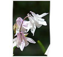 Aquilegia in the Sun Poster