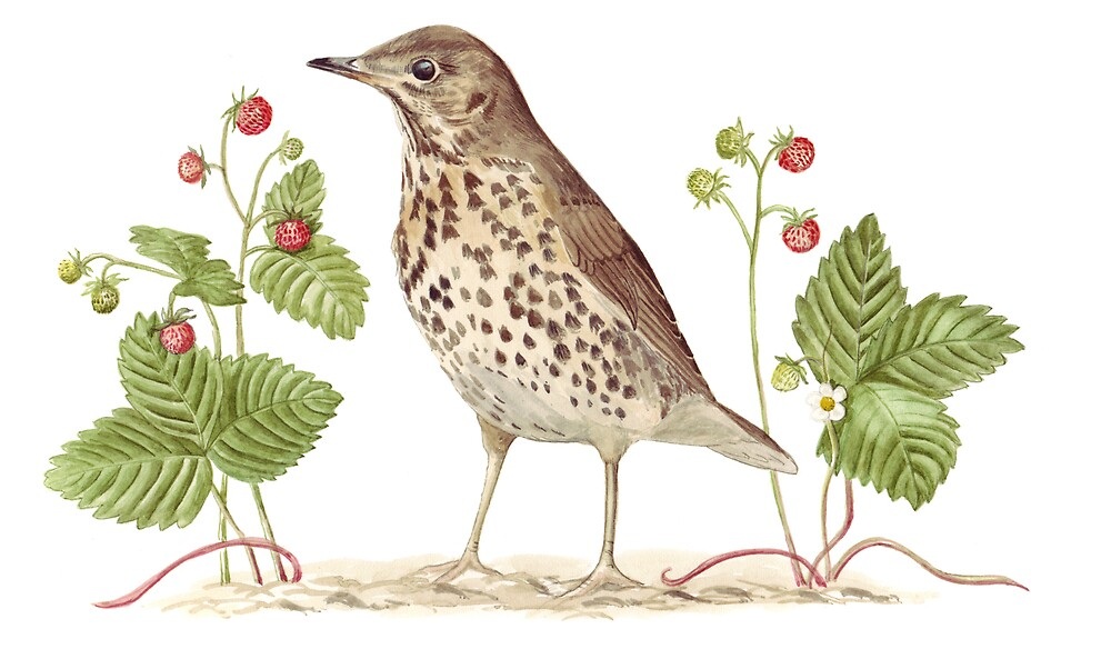 Song Thrush and Wild Strawberries by Maureen Sparling