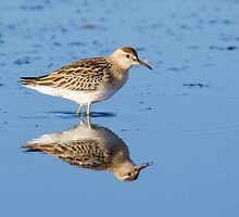 Sharp-tailed Sandpiper by mistertroy