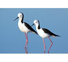 Black-winged Stilts Photographic Print