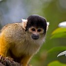 Black-Capped Squirrel Monkey by HelenBeresford