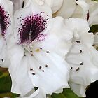 White and Purple Rhodies by plunder