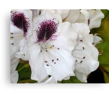 White and Purple Rhodies Canvas Print