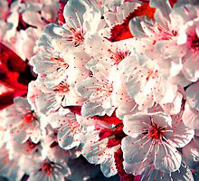 Hey, little Cherry Blossom by Manisch