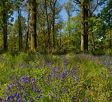 Bluebell Woods by M.S. Photography/Art