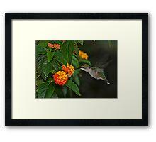 low light hummingbird Framed Print