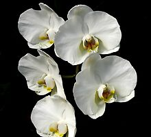 White Phalaenopsis by PhotosByHealy