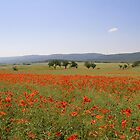 Poppy field by krasser