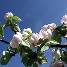 Quince Blossom by LouJay